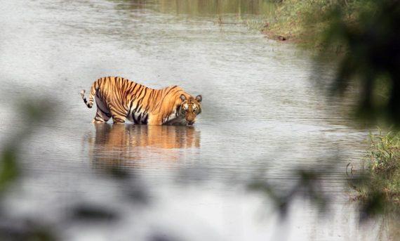 Tiger tracking during Jugle Safari in Bardiya National Park