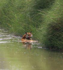 Bardiya Jungle Safari -Royal Bengal Tiger
