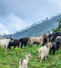 Cattle keeping and taking them for grazing is one of the major profession of Tamang People in Northern zone of Rusuwa, Nepal ( People of Tamang Heritage Trail)
