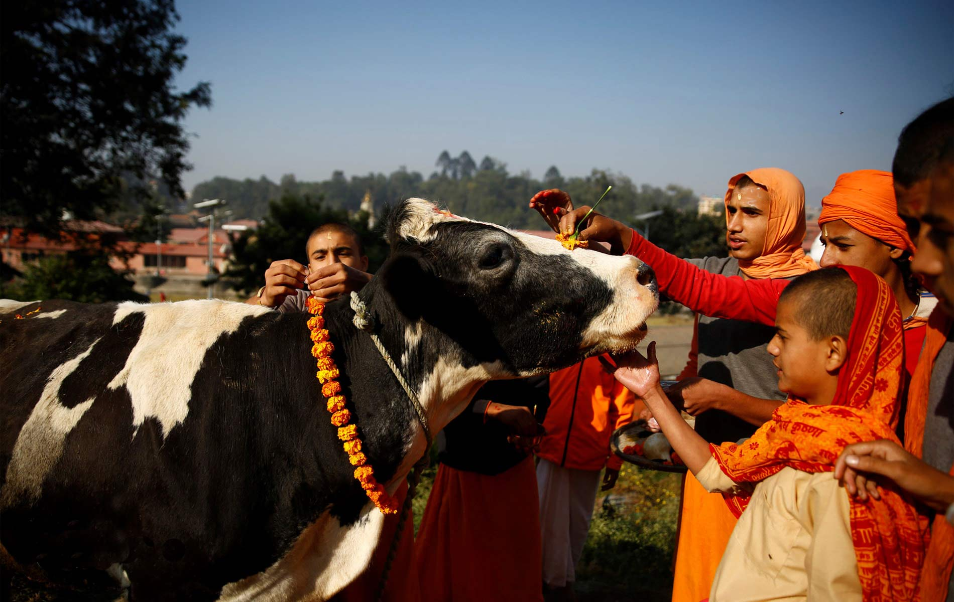 People worshiping cow with different offerings