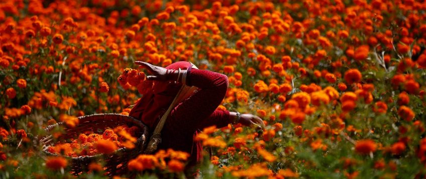 A woman picking up the marigold flowers for Tihar