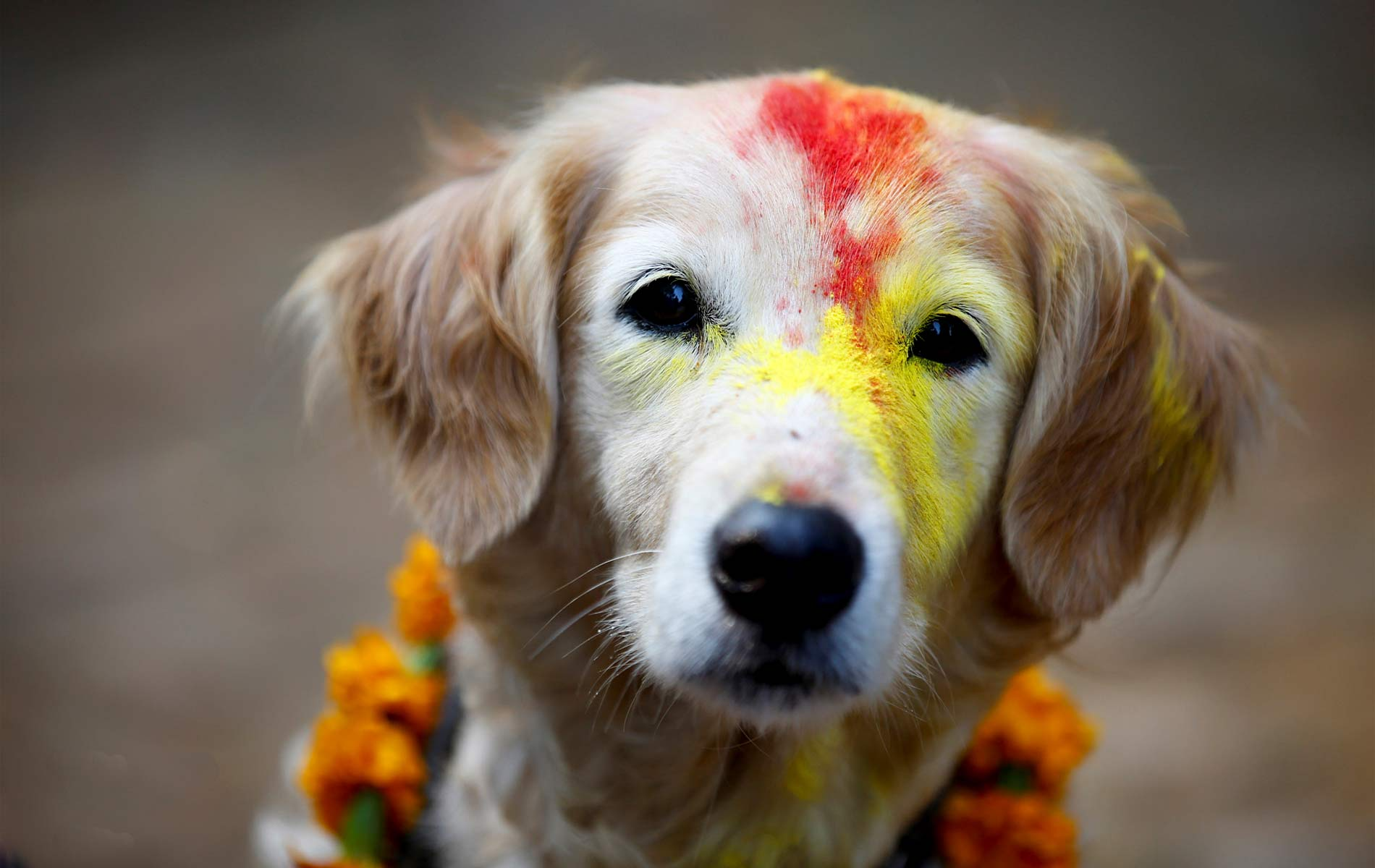 Dog worshiped on the day of Kukur tihar